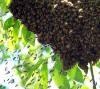 Honeybee swarm 2