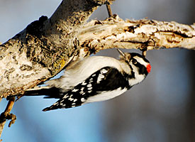 Downy_woodpecker_glamour