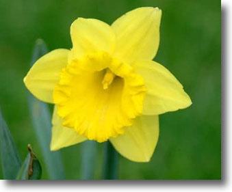 Daffodils_big