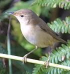 EurasianReedWarbler(NL)